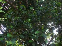 Jackfruit tree.jpg