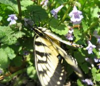 Creeping charlie 3rd Butterfly .jpg