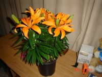 Asiatic Lily 003.JPG