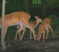 July 20 2009 006Fawns.jpg