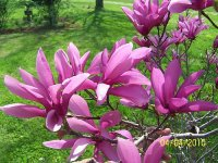Tulip Tree bloom 2.jpg