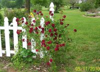 Roses red on fence 1.jpg