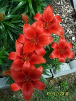 Lilies red border 4.jpg