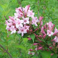 Old Fashioned Pink Weigela