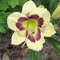 Purple_Center_Daylily