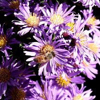 Bee on aster 2010