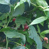 Weather-beaten Raspberries
