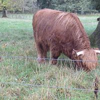 highland_cows_1
