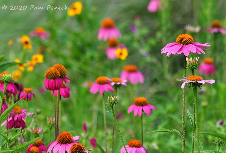 06_Purple_coneflowers-1.jpg