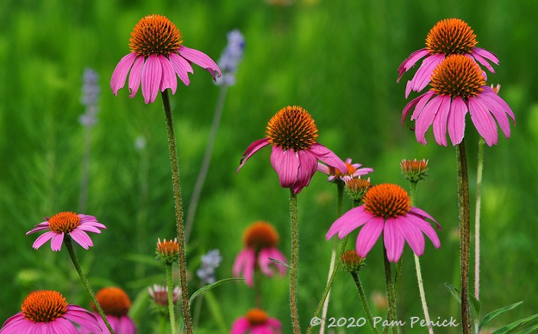 08_Purple_coneflowers-1.jpg