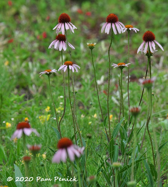 26_Pale_purple_coneflower-1.jpg