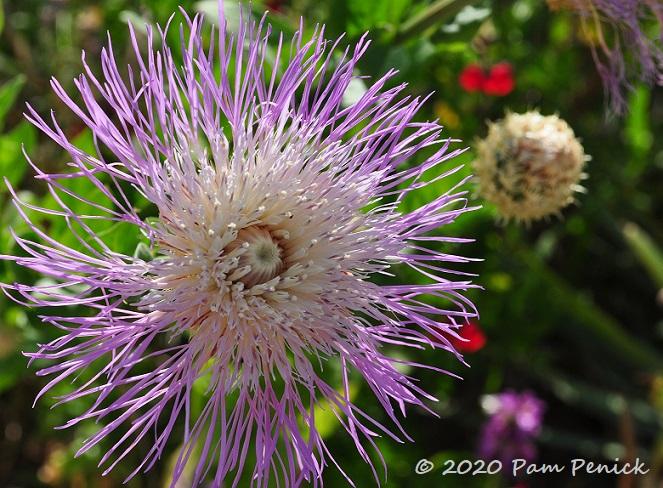 28_American_basket_flower.jpg