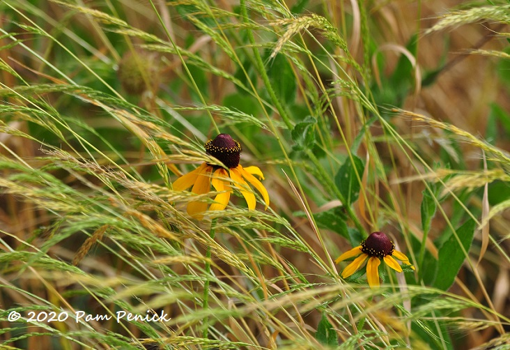 35_Brown_eyed_Susan_Grass-1.jpg