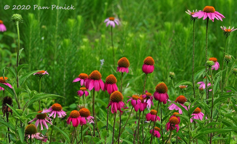 37_Purple_coneflowers-1.jpg