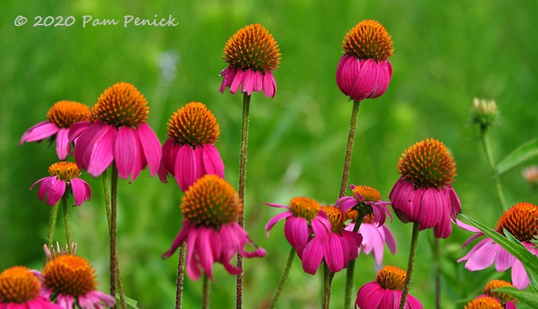 38_Purple_coneflowers-1.jpg