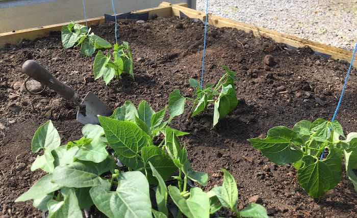 French-beans-planted-tunnel.jpg