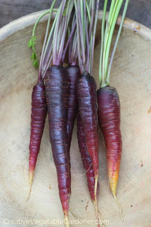 growing-garden-carrots.png