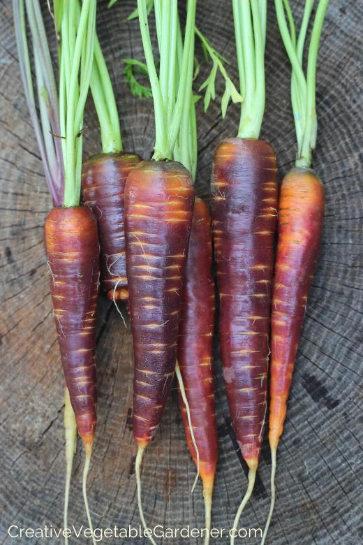 growing-organic-carrots.png