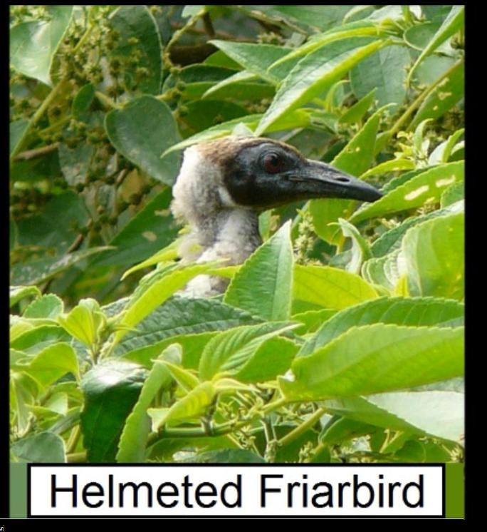 helmeted friar bird.png