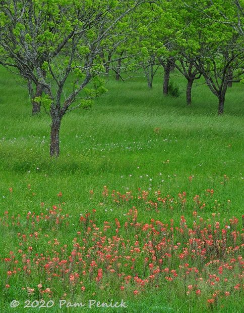 Indian_paintbrush_orchard-1.jpg