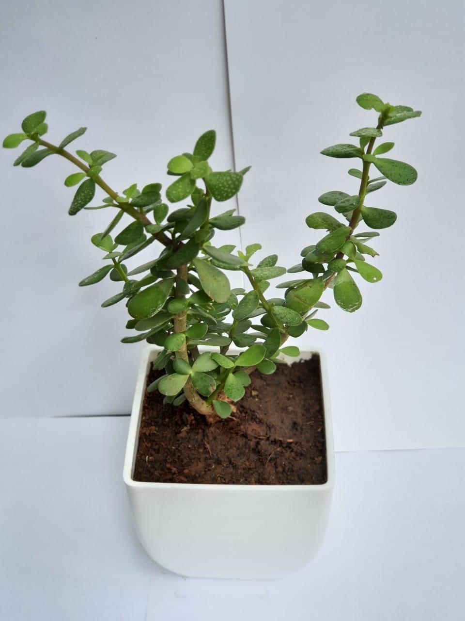 Jade-plant.jpg