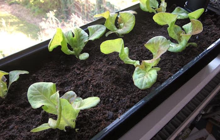 Lettuce-growing-windowsill-700.jpg