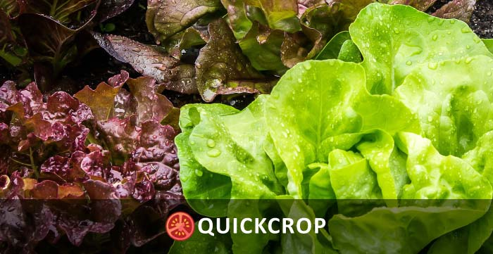 Lettuce-header-700.jpg