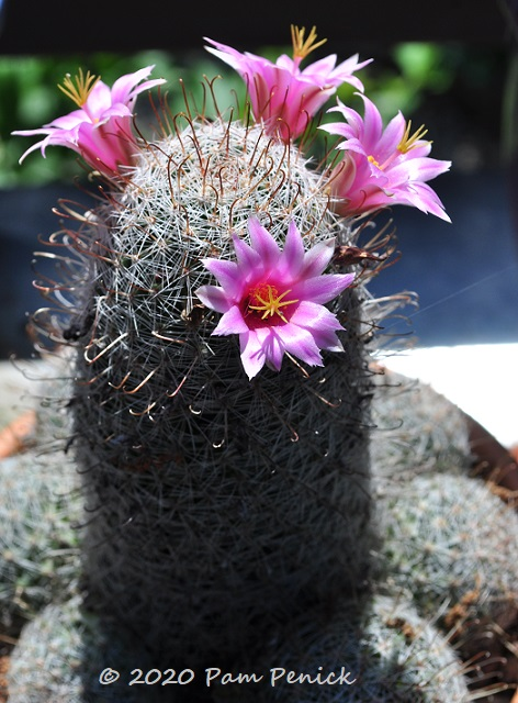 Mammillaria_cactus_in_bloom-3.jpg