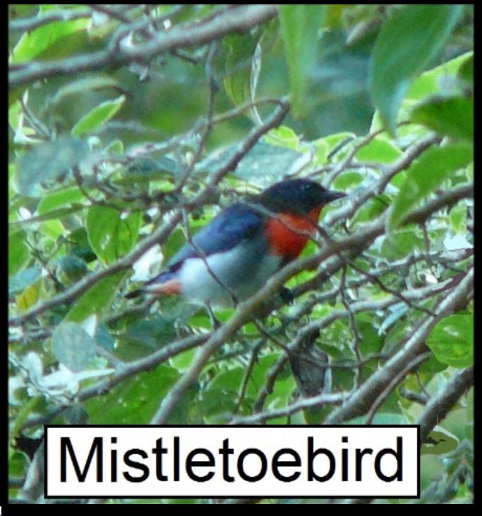 Mistletoe bird.png