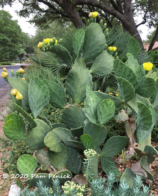 Old_Mexico_prickly_pear_2-1.jpg