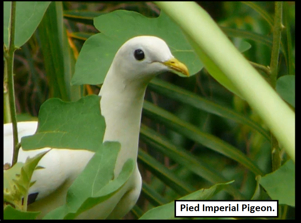 Pied Imperial Pigeons.png