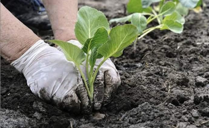 Planting-cabbage-seedlings-4.jpg
