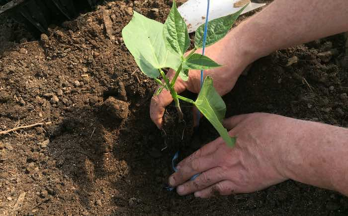 Planting-French-Beans-2.jpg