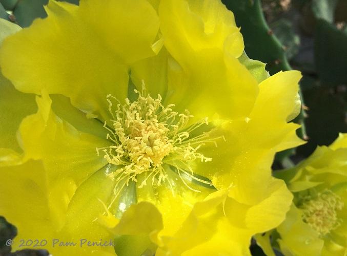 Prickly_pear_flower-1.jpg