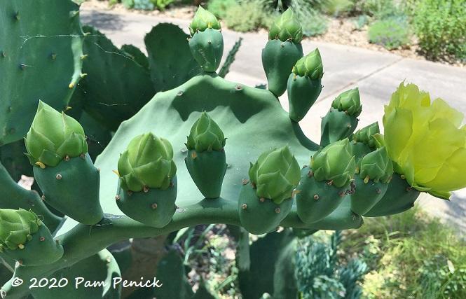 Prickly_pear_flower_buds-1.jpg