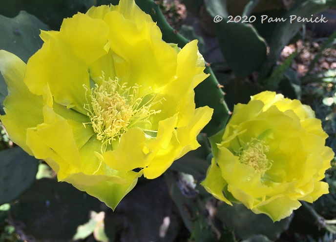 Prickly_pear_flowers-1.jpg