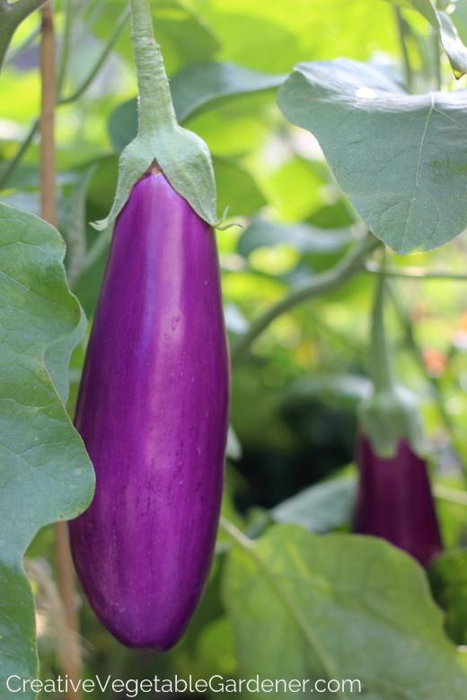 Purple-Eggplant.jpg