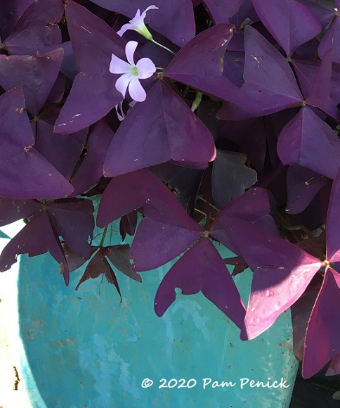 Purple_oxalis_Blue_pot-1.jpg