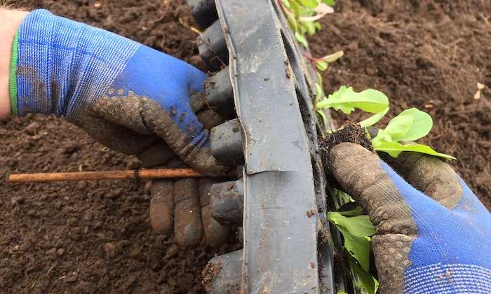 Removing-seedlings-from-tray-700.jpg