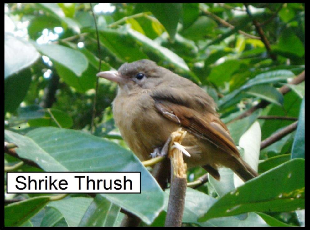 Shrike Thrush.png