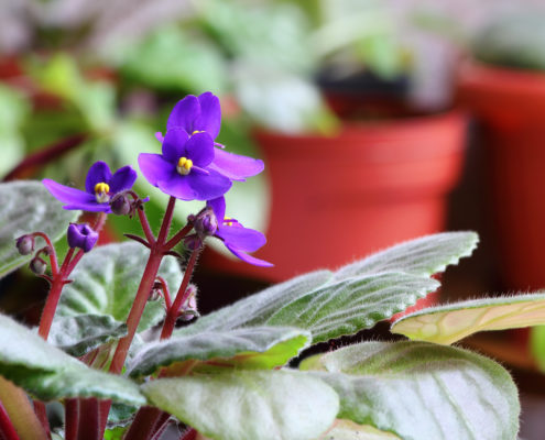 small-african-violet--495x400.jpg