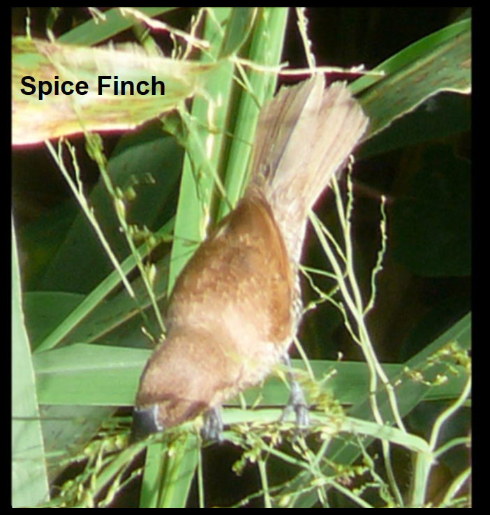 Spice Finch1.png