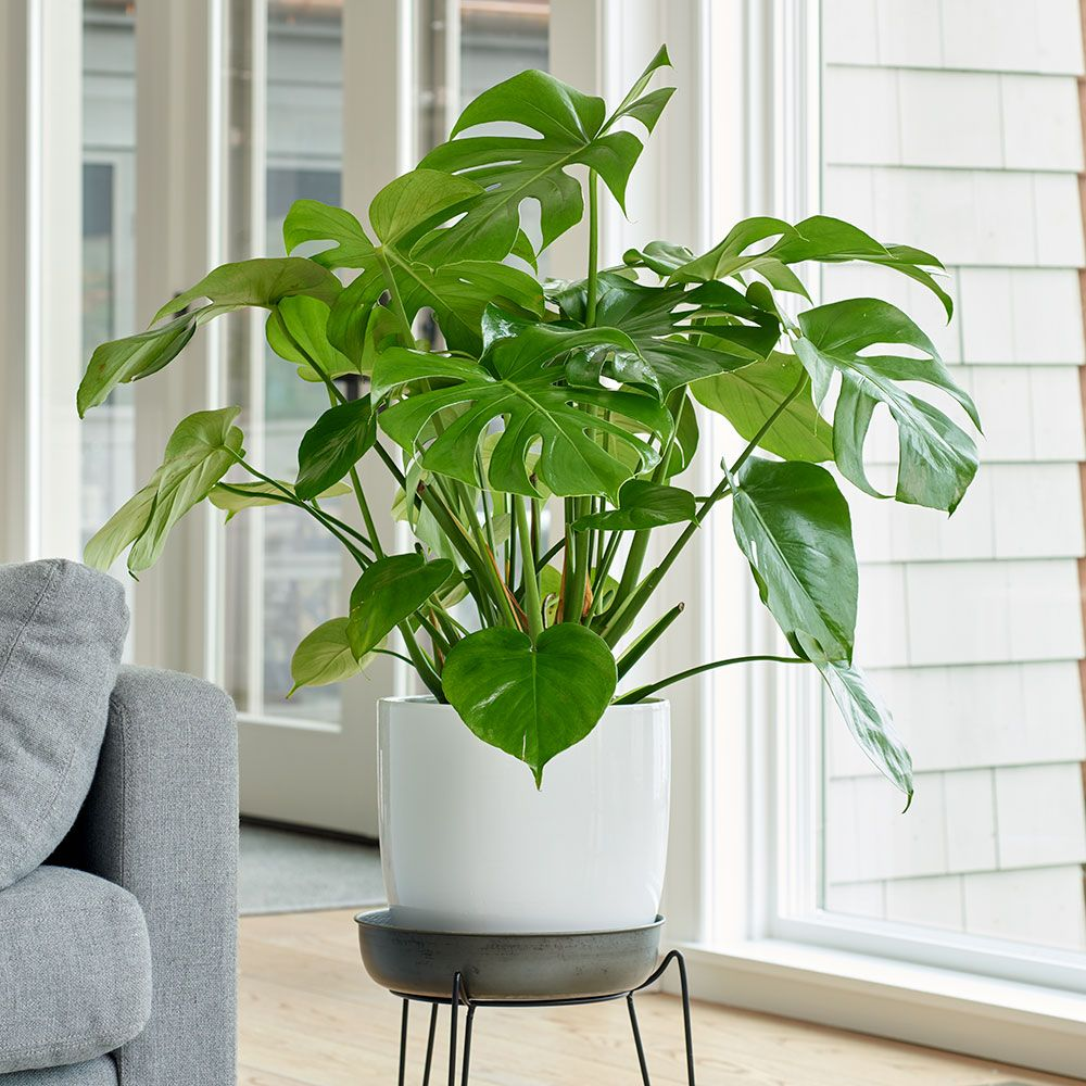 Split-Leaf-Philodendron.jpg