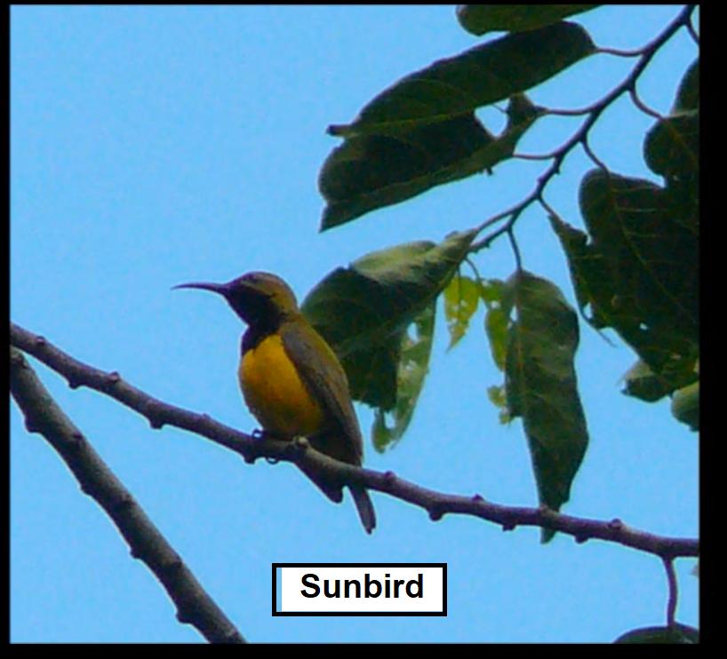 Sunbird1.png