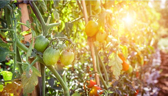 Sunny-tomato-vine-700.jpg