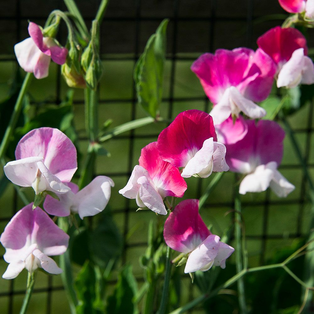 Sweet-Pea-Cherie-Amour_closeup-on-fence.jpg