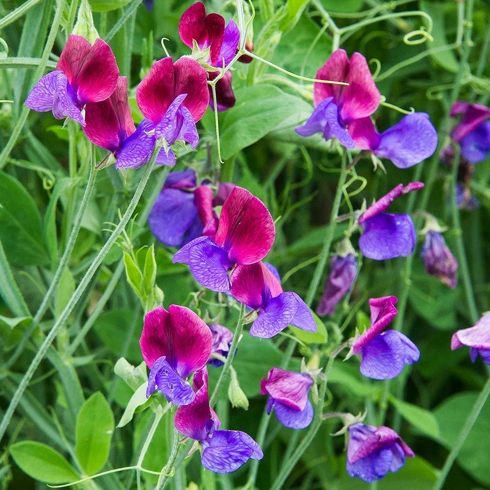 Sweet-Pea-Cupanis-Original_lots-of-blossoms.jpg