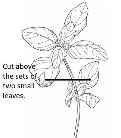 tips-for-growing-basil.jpg