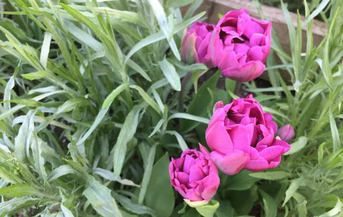 Tulip-raised-bed-2.jpg