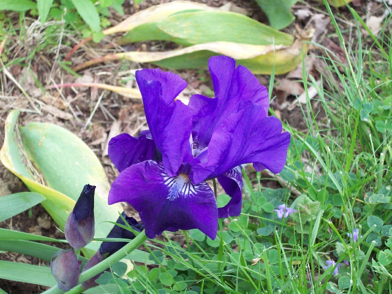 Dark Purple Reblooming Dwarf Iris